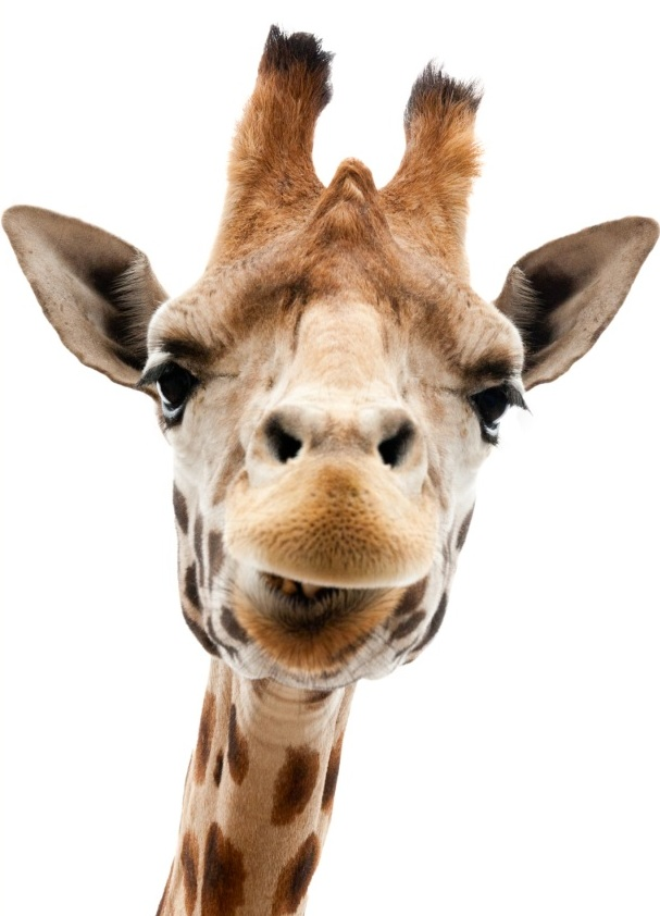 image of Mitch the giraffe